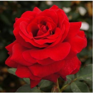 Чайно-гібридна троянда Solo Red  (ДП) фото 1