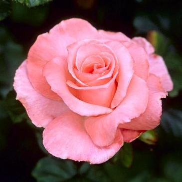 Чайно-гібридна троянда Solo Pink (ДП) фото 1