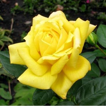 Чайно-гібридна троянда Solo Yellow (ДП) фото 1