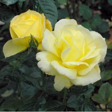 Поліантова троянда AVENUE YELLOW фото 1