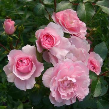 Поліантова троянда AVENUE PINK фото 1