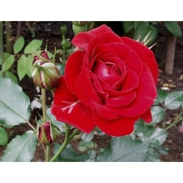Поліантова троянда AVENUE RED фото 1