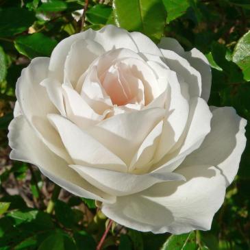 Поліантова троянда AVENUE WHITE фото 1