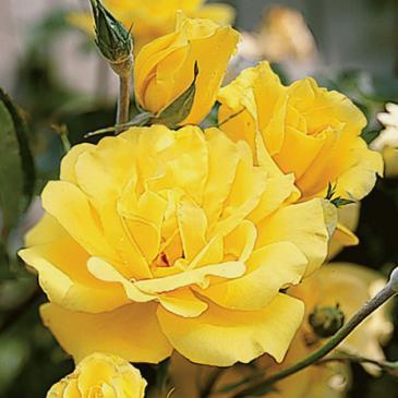 Плетиста троянда FAMILY YELLOW фото 1