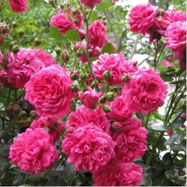 Плетиста троянда FAMILY PINK фото 1