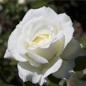 Плетиста троянда FAMILY WHITE фото 1
