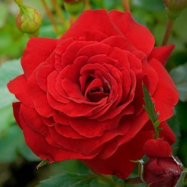 Плетиста троянда FAMILY RED фото 1