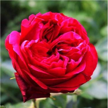 Троянда паркова RED EDEN ROSE / Ред Еден Роуз, серія Меррі Грін фото 1