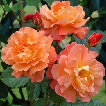 Роза парковая WESTERLAND / Вестерленд, серия Мерри Грин фото 1