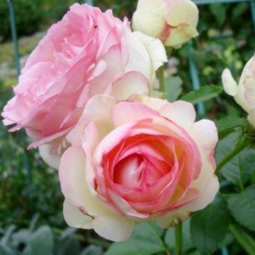 Плетиста троянда EDEN ROSE / Іден Роуз, серія Меррі Грін фото 1