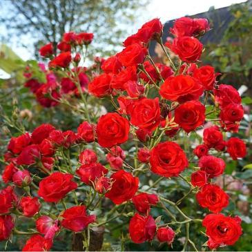 Троянда ґрунтопокривна SCARLET MEILLANDEKOR / Скарлет Мейландекор, серія Меррі Грін фото 1