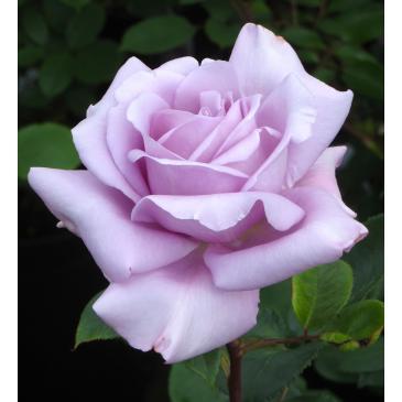 Плетиста троянда BLUE MOON CLIMBING / Блю Мун плетистий, серія Меррі Грін фото 1