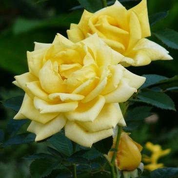 Троянда чайно - гібридна BEROLINA / Бероліна, серія Меррі Грін фото 1