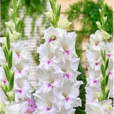 Гладіолус великоквітковий CLOUDY, 5 циб. 14/16 фото 1