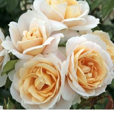 Троянда Кордес флорібунда LIONS ROSE / Лайонс Роуз, серія Рустік фото 1