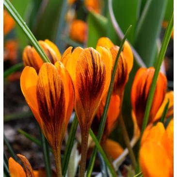 Крокус ботанический ORANGE MONARCH 5/6, 3 лук. фото 1