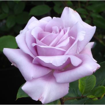 Троянда чайно - гібридна BLUE MOON / Блу Мун, серія Меррі Грін фото 1