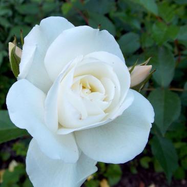 Троянда поліантова ASPIRIN / Аспірин, серія Меррі Грін фото 1