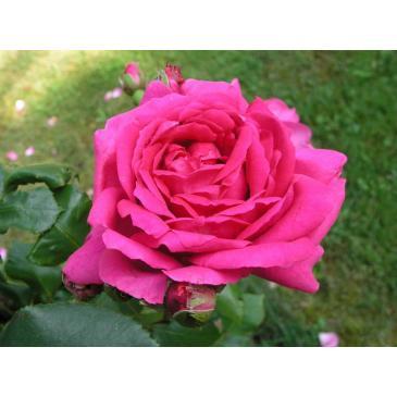 Плетиста троянда ETUDE / Етюд, серія Меррі Грін фото 1