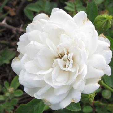 Троянда ґрунтопокривна SEA FOAM / Сіа Фом, серія Меррі Грін фото 1