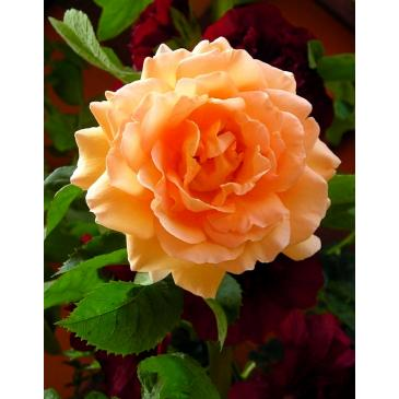 Троянда паркова POLKA / Полька, серія Меррі Грін фото 1