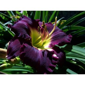 HEMEROCALLIS SUPER PURPLE ( Лілійник ) 1 корн. фото 1