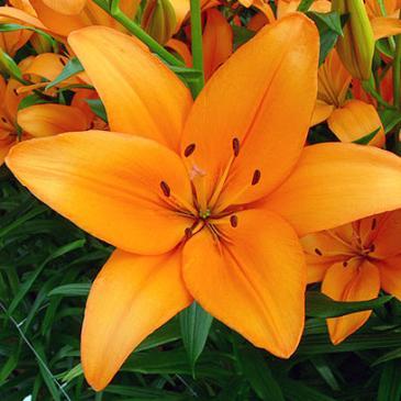 Лилия азиатськая BARITON, 1 циб. 14+ фото 1