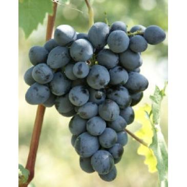 Виноград синій Руслан серія Меррі Грін (ДП) фото 1
