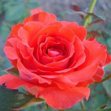 Троянда чайно - гібридна  ANGELIQUE / Анжеліка, серія Меррі Грін фото 1