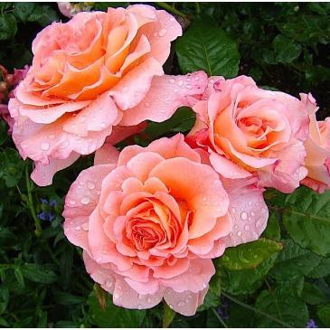 Троянда чайно - гібридна AUGUSTA LUISE / Августа Луїза, серія Меррі Грін фото 1