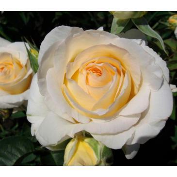 Троянда чайно - гібридна CHOPIN / Шопен, серія Меррі Грін фото 1