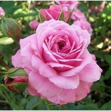 Роза флорибунда BONICA / Боника, серия Мерри Грин фото 1