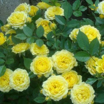 Плетиста троянда CASINO/ Казіно, серія Меррі Грін фото 1