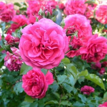 Троянда паркова ROSARIUM UETERSEN / Розаріум Уетерзейн, серія Меррі Грін фото 1
