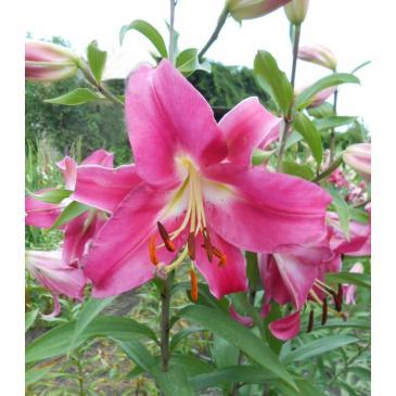 Лилия древовидная DONATO, 1 лук. 18+ фото 1