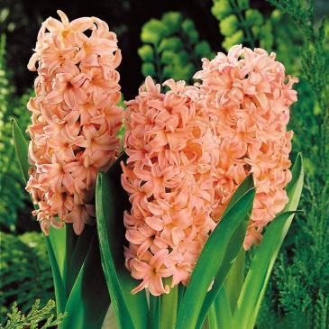 Гіацинт садовий махровий GIPSY QUEEN, 14/15,  1 циб. фото 1
