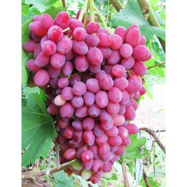 Виноград кишмиш Велес фото 1