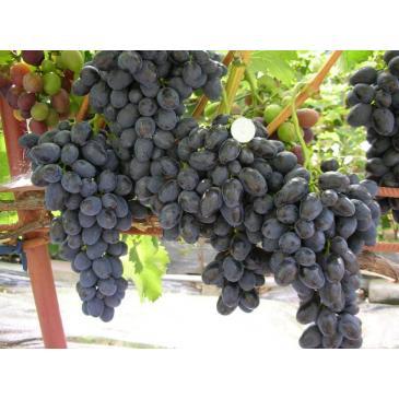 Виноград ранній Забава (Чорна Лора) фото 1