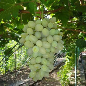 Виноград ранній Галахад фото 1