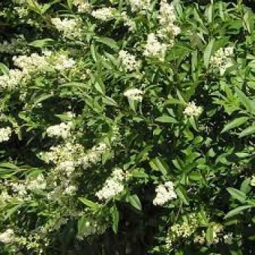 Бірючина звичайна ЛОДЕНЗЕ/ Ligustrum vulgare Lodense фото 1