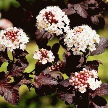 Пухироплідник калинолистний ДІАБОЛО /Physocarpus opulifolius Diabolo фото 1