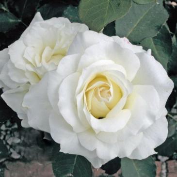 Троянда чайно - гібридна WHITE SYMPHONY / Уайт Сімфоні, серія Меррі Грін фото 1