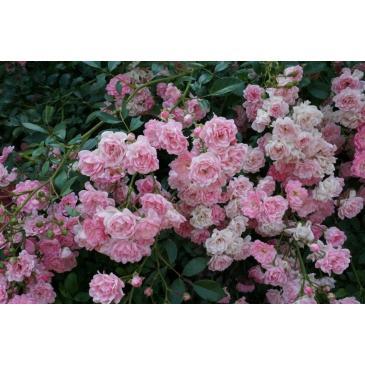 Троянда ґрунтопокривна PINK FAIRY / Пінк Фейрі, серія Меррі Грін фото 1