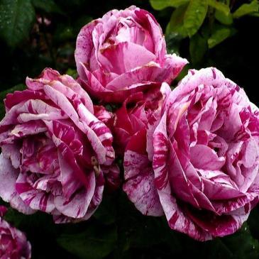 Троянда паркова FERDINAND PICHARD/ Фердінанд Пішард, серія Меррі Грін фото 1
