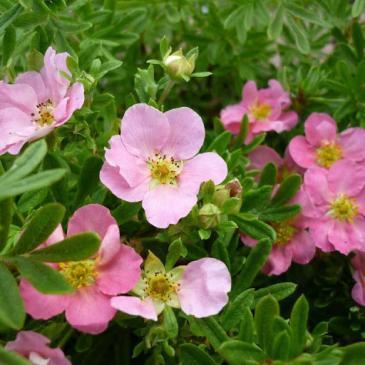 Лапчатка ПІНК КУЇН / Potentilla fruticosa Pink Queen фото 1