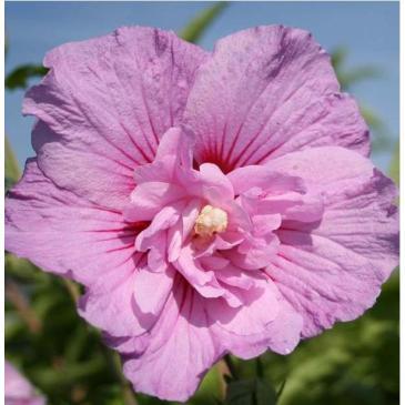 Гібіскус сирійський ЛАВЕНДЕ ШИФОН / Hibiscus syriacus Lavender Chiffon фото 1