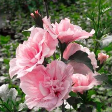 Гибискус сирийский ПИНК ШИФОН / Hibiscus syriacus Pink Chiffon фото 1