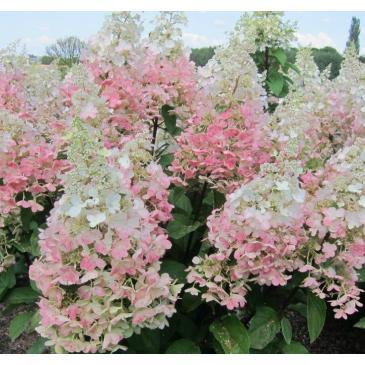 Гортензія мітловидна КОНФЕТТІ / Hydrangea paniculata Confetti фото 1