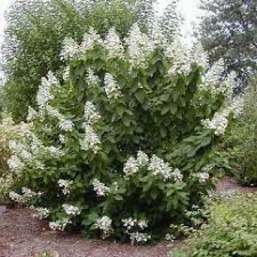Гортензія мітловидна ТАРДІВА / Hydrangea paniculata Tardiva фото 1