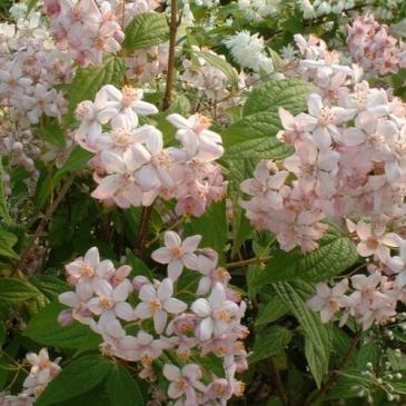 Дейция гибридная МОНТ РОУЗ / Deutzia hybrida Mont Rose фото 1